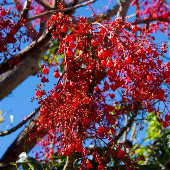 [Flowering Trees] Brachychiton
