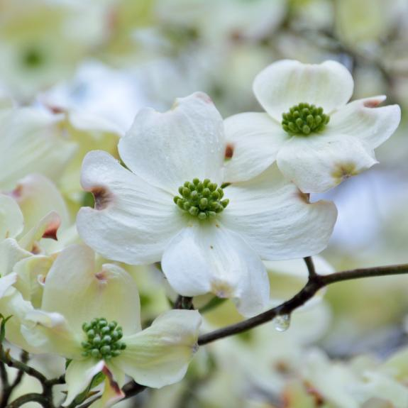 [Flowering Trees] Flowering Dogwood