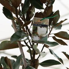 [Flowering Trees] Magnolia