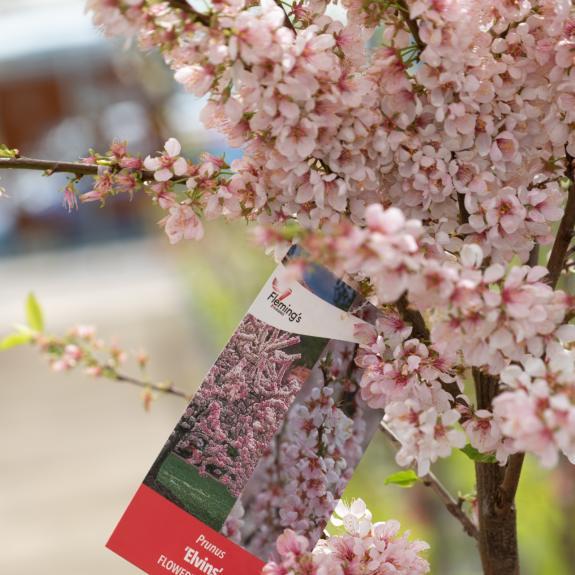[Flowering Trees] Prunus Flowering