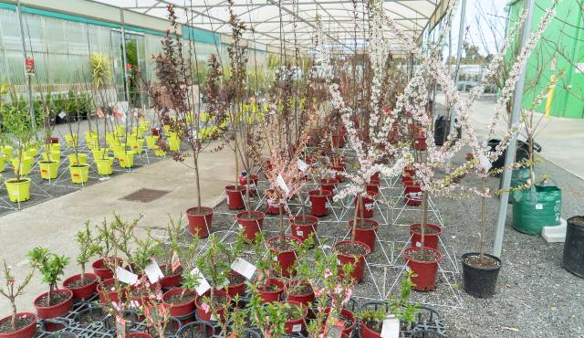 flowering trees on display in garden centre