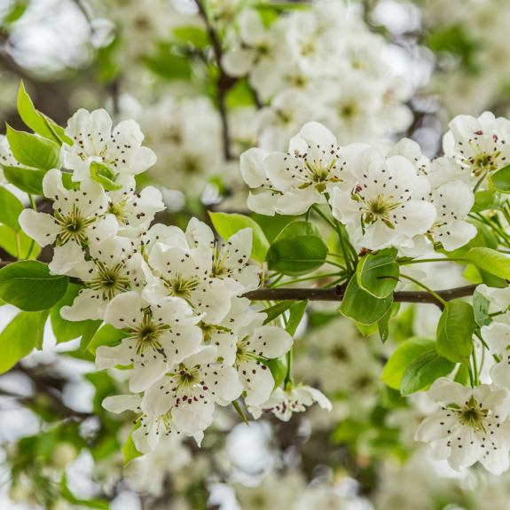 [Ornamental Trees] Ornamental Pear