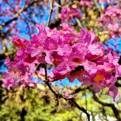 [Ornamental Trees] Lagerstroemia