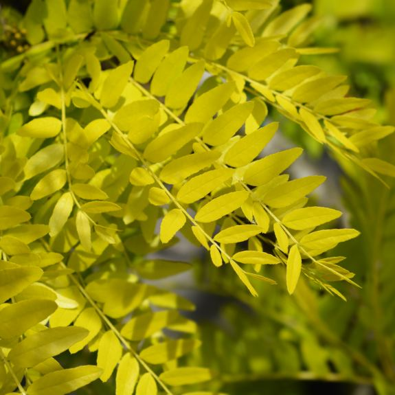 [Ornamental Trees] Gleditsia
