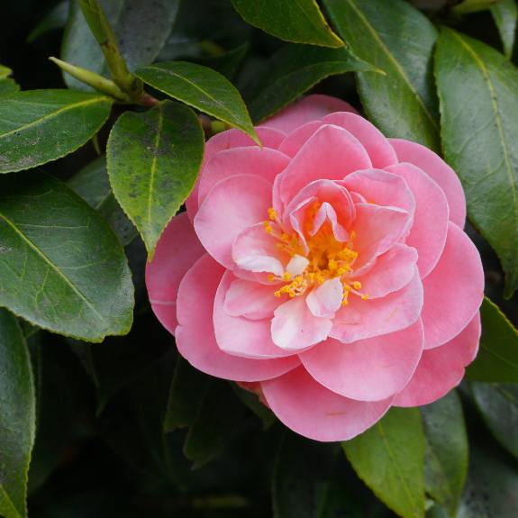 [Trees For Shade] Camellia