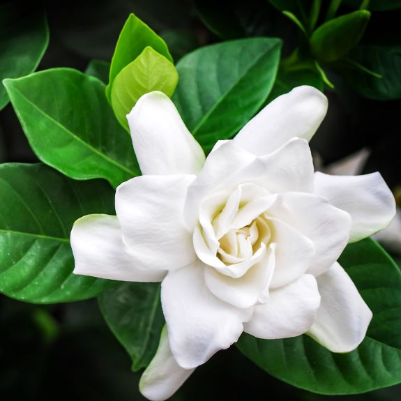 [Trees For Shade] Gardenia