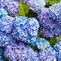 [Trees For Shade] Hydrangea