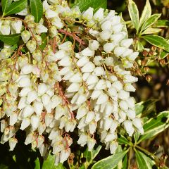 [Trees For Shade] Pieris Japonica