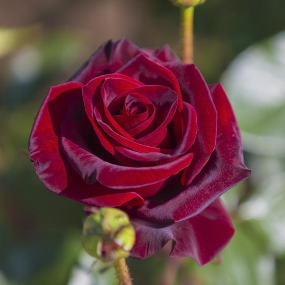 [Roses] Black Magic