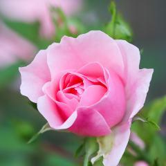 [Roses] Bonica