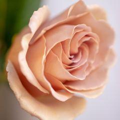 [Roses] Cappucino