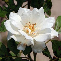 [Roses] Iceberg