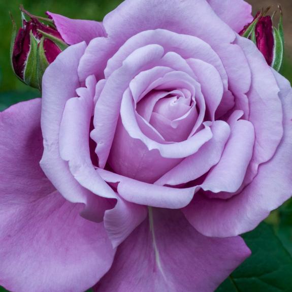 [Roses] Charles de Gaulle