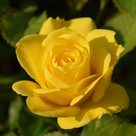 [Roses] Friesia