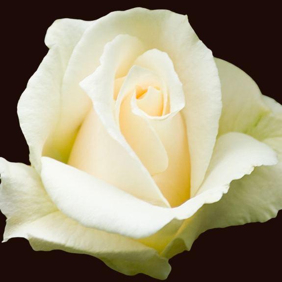 [Roses] Pascali