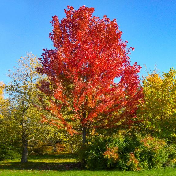 [Maple Trees] Autumn Blaze