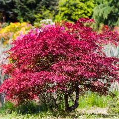 [Maple Trees] Atropurpureum