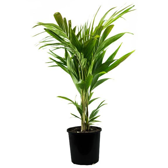 [Palm Trees] Bangalow