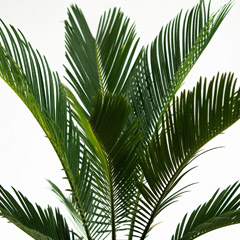 [Palms and exotics] Cycad
