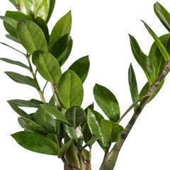 [Indoor plant] Zanzibar Gem