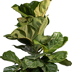 [Indoor plants] Fiddle Leaf Fig