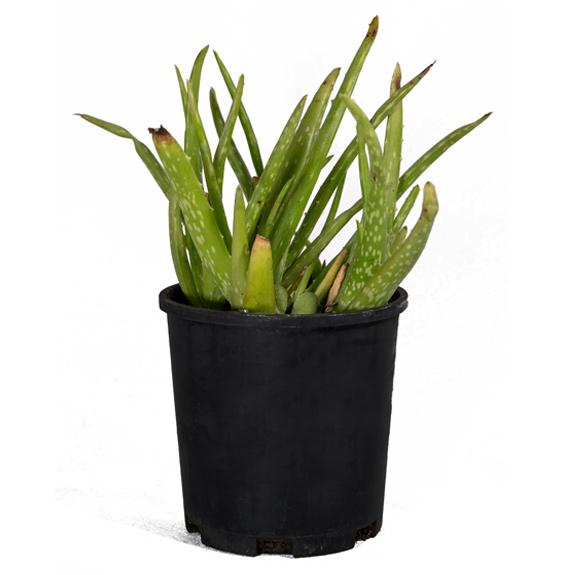 [Succulents] Aloe Vera