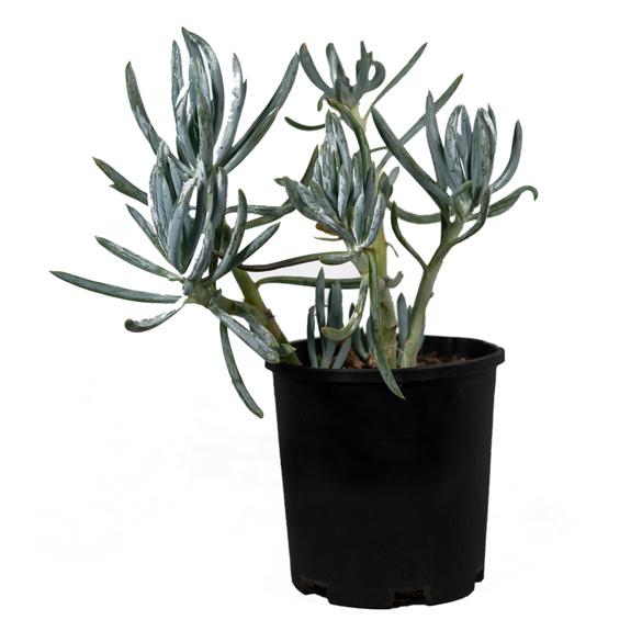 [Succulents] Blue Chalk Stick