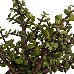 [Succulents] Jade Plant