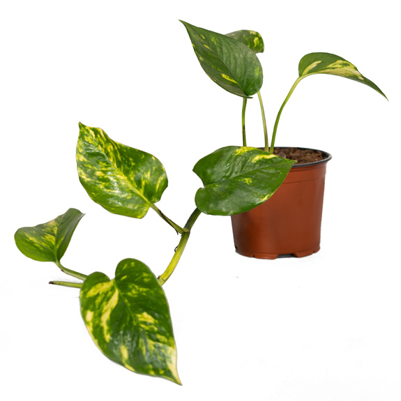 [Vines] Devil's Ivy