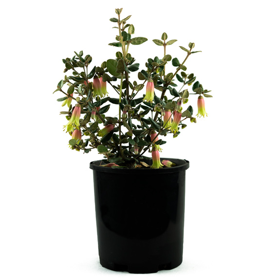 [Native Plants] Correa