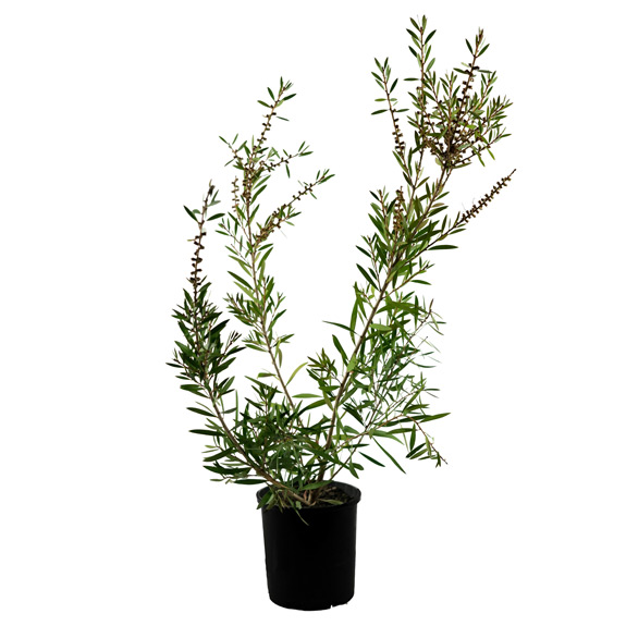 [Native Plants] Callistemon