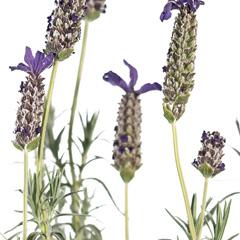 [Flowering Plants] Lavender