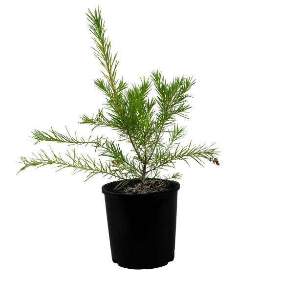 [Flowering Plants] Rosemary