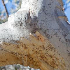 [Eucalyptus Trees] Scribbly Gum