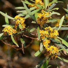 [Eucalyptus Trees] Water Gum