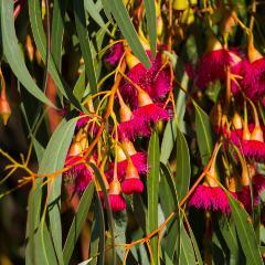[Eucalyptus Trees] Large-fruited Yellow Gum