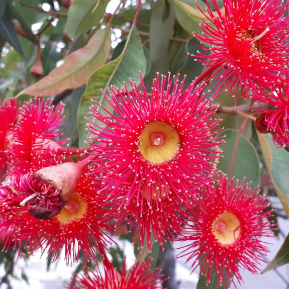 [Eucalyptus Trees] Eucalyptus Summer Beauty
