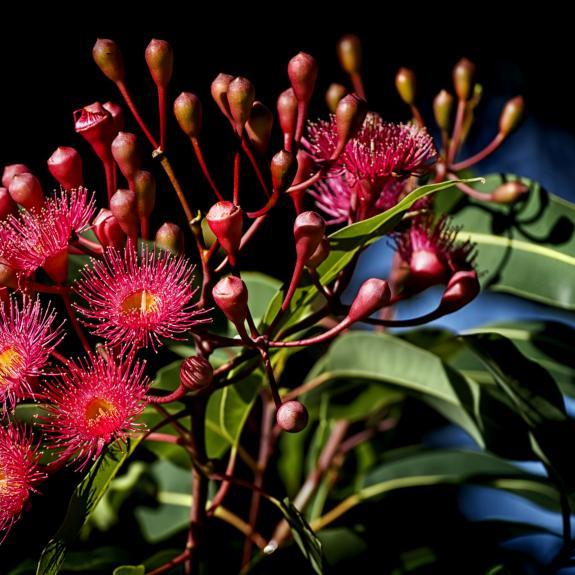[Eucalyptus Trees] Red Flowering Gum