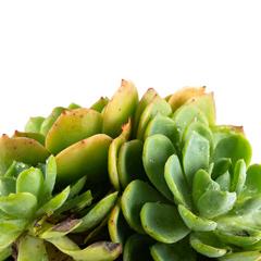 [Succulents] Echeveria