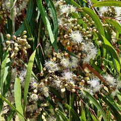 [Eucalyptus Trees] Lemon-Scented Gum