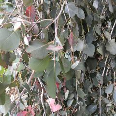 [Eucalyptus Trees] Mugga Ironbark