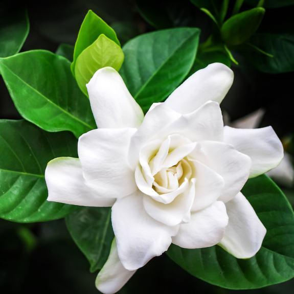 [Exotic Shrubs] Gardenia