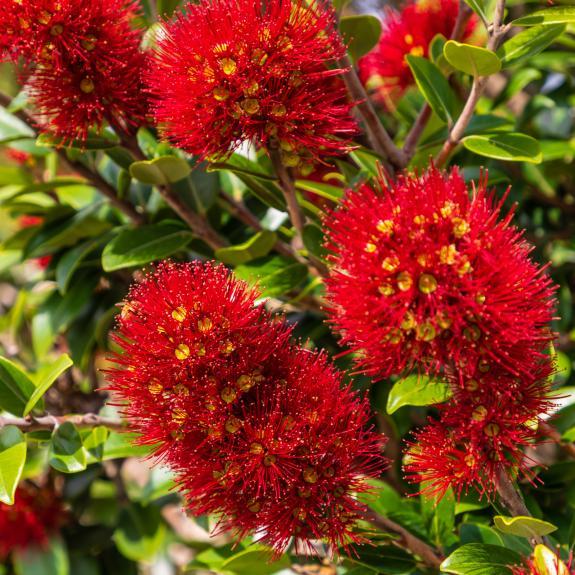 [Exotic Shrubs] New Zealand Christmas bush