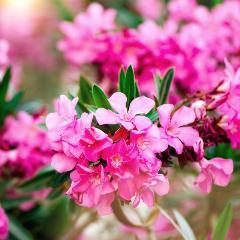 [Exotic Shrubs] Oleander