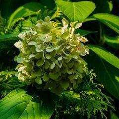 [Hydrangeas] Evergreen hydrangea