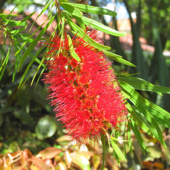 [Callistemons] Crimson bottlebrush