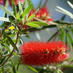 [Callistemons] Narrow-leaved bottlebrush