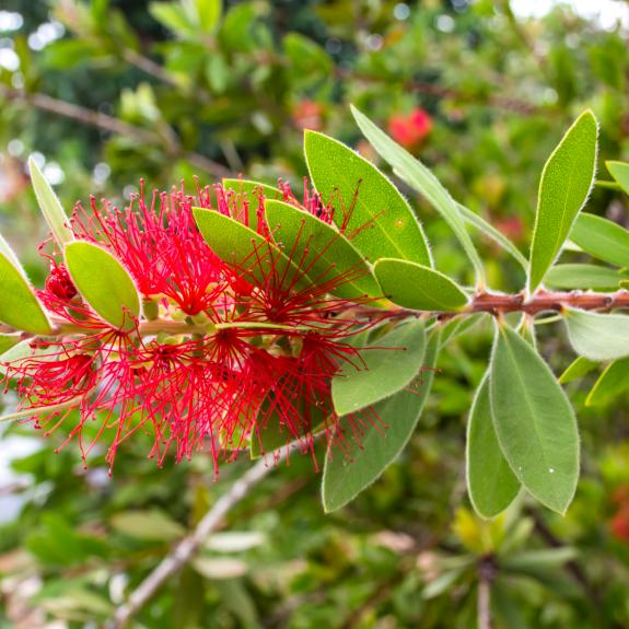[Callistemons] Wallum bottlebrush