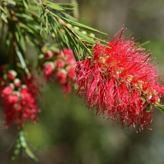 [Callistemons] Scarlet bottlebrush