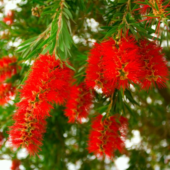 [Callistemons] Weeping bottlebrush